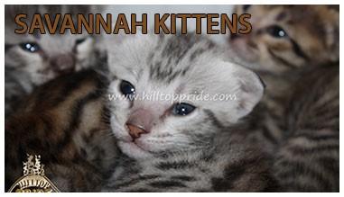 Hilltop Pride Savannah Kittens