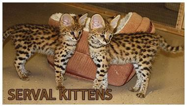 Hilltop Pride Serval Kittens